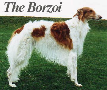 A beautiful Borzoi called Sergei!