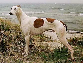A Greyhound on the beach in rainy weather