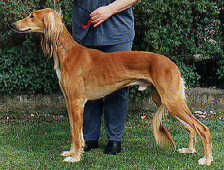 A lovely Saluki from Kennel Feisal's